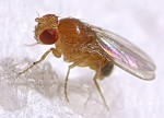 A fruit fly has red eyes and it's body is a yellow orange color.